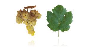Portugees druivenras Bical