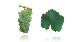 Portugees druivenras Encruzado