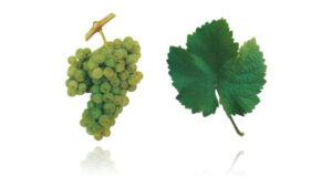 Portugees druivenras Viosinho