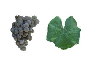 Portugese druivenras alicante bouschet