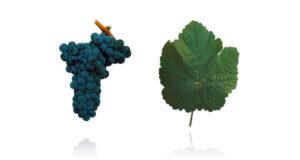 Portugees druivenras touriga franca