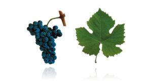 Portugees druivenras touriga nacional